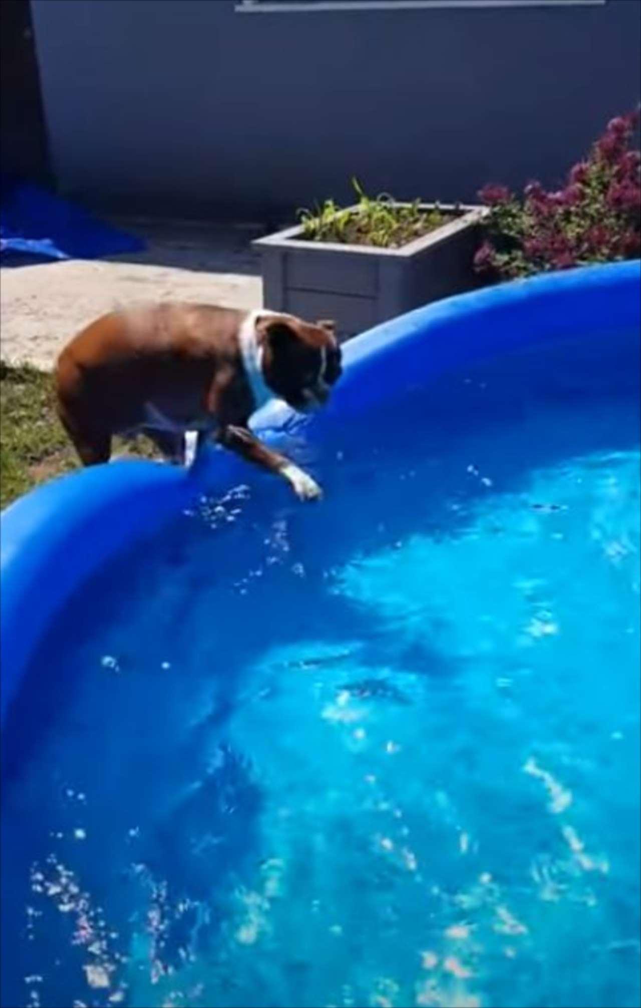 入りたいのに!目の前にあるプールへの飛び込み方がわからないワンコがかわいい