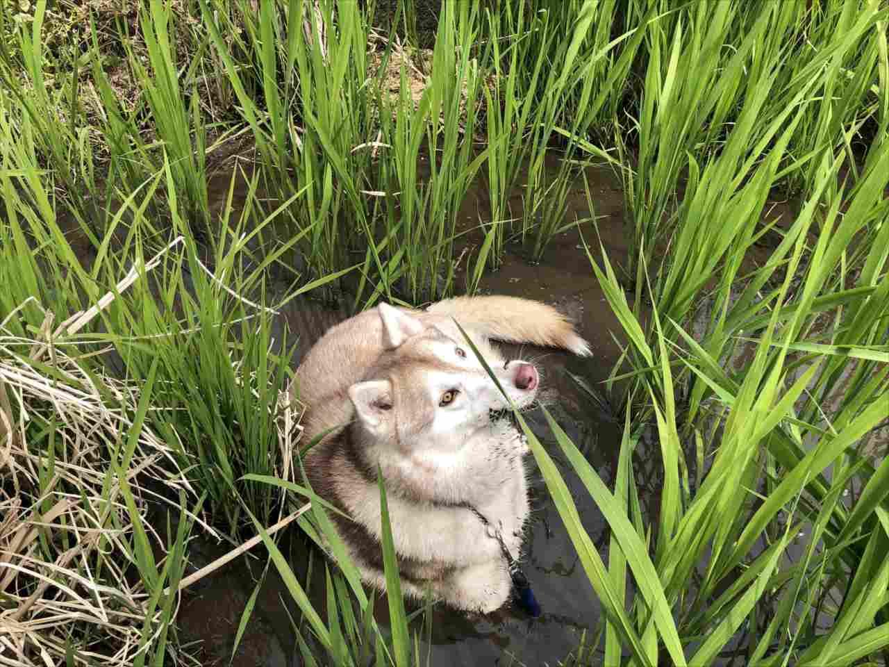 飼い主が目をはなした隙に逃走し泥まみれに・・・出てきた姿が『シベリアンタヌキー』だった(笑)