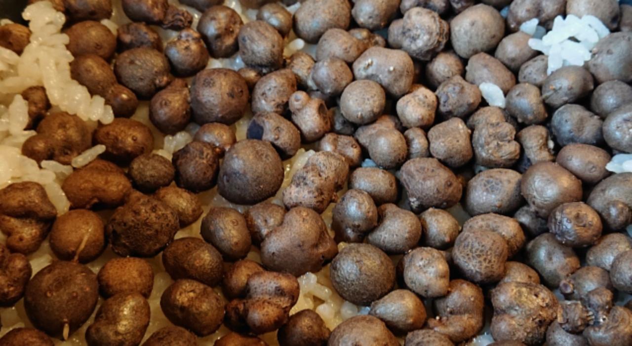 果実でも種でもない、食用にできる「むかご」とはどんなもの?毒性はないの?