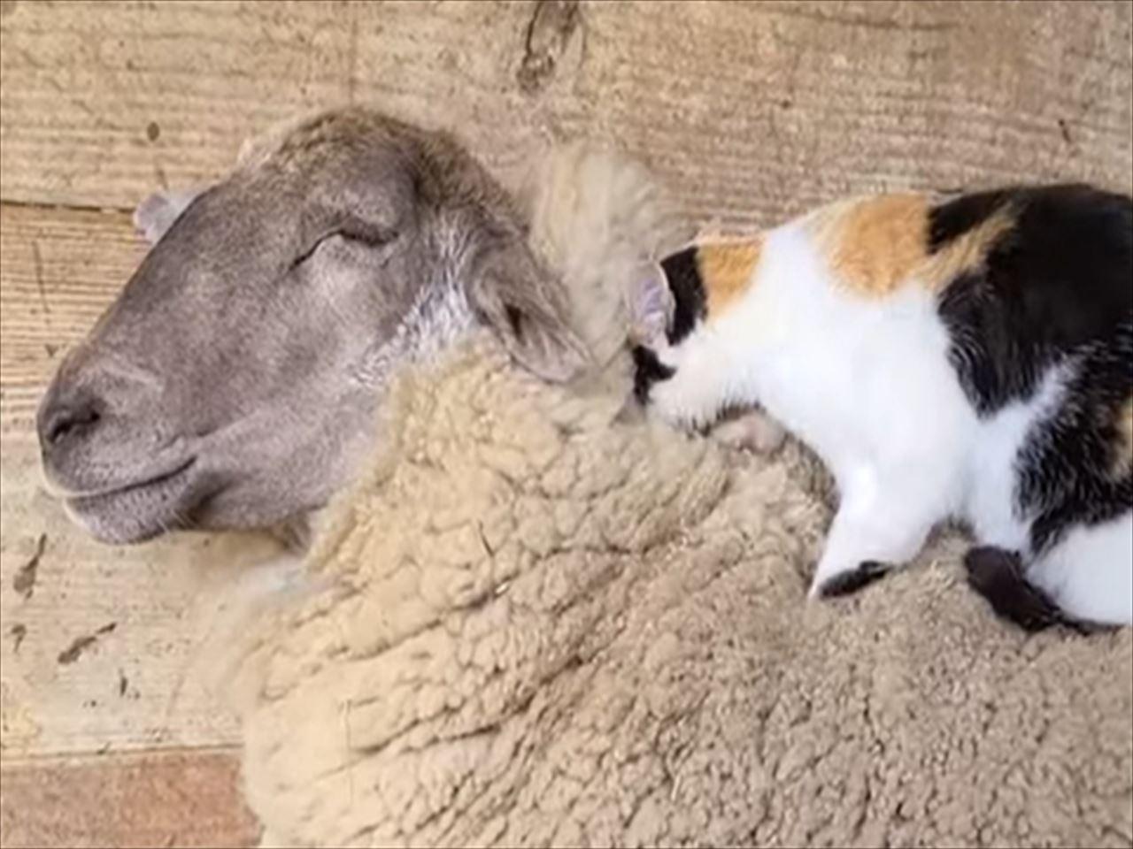 「いつも背中をベッドにしてるからマッサージするね!」羊と猫の仲良しの関係が素敵!