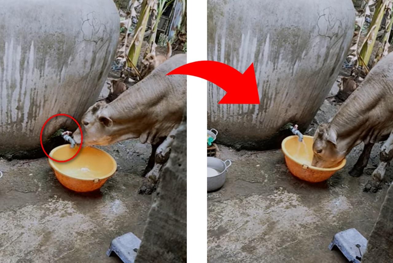 「君がやっていたのか・・・」蛇口が開けっ放しの給水機。それは蛇口をひねり水を飲む賢い牛の仕業だった!