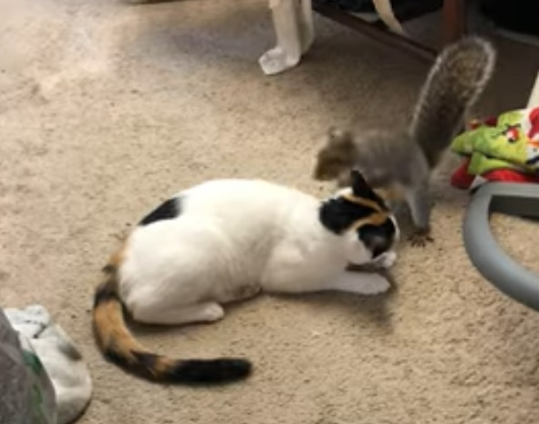「超楽しいんですけど!」ネコの背中を乗り越えたり尻尾で楽しそうに遊ぶリス