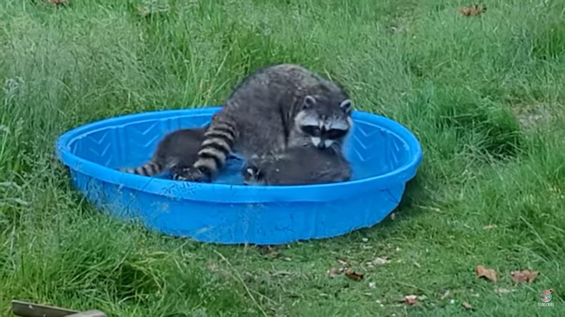 「ほら、しっかり体洗わなきゃダメでしょ」アライグマのお母さん、幼い子供たちのお風呂タイムに奮闘中