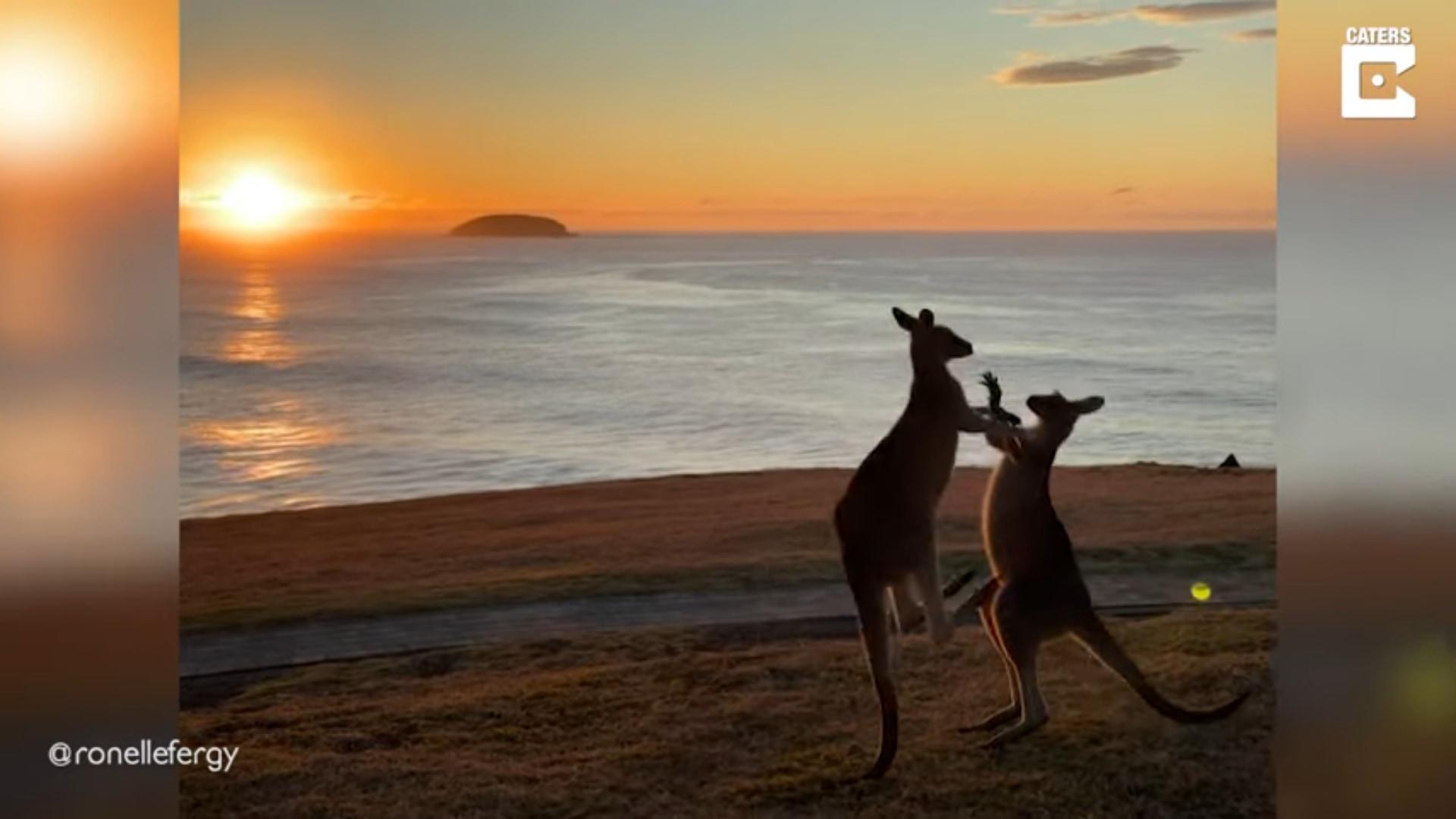 【暁の決闘】喧嘩をするカンガルー、「日の出」に「海岸」とそのシチュエーションがまるで映画