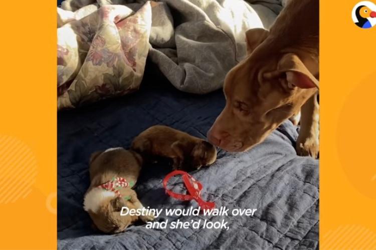 見たことない小さな子犬たちに戸惑うワンコ、その態度が次第に変化する様子に感動