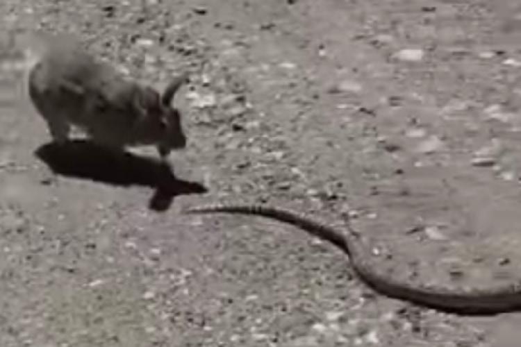 ウサギだってやる時はやるんです!ヘビをコテンパンに返り討ちにする武闘派ウサギが見つかる
