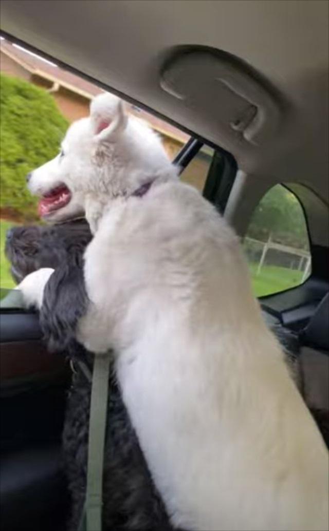 ドライブで窓から外を眺める時はいつもこのスタイル!ワンコたちの姿が微笑ましい