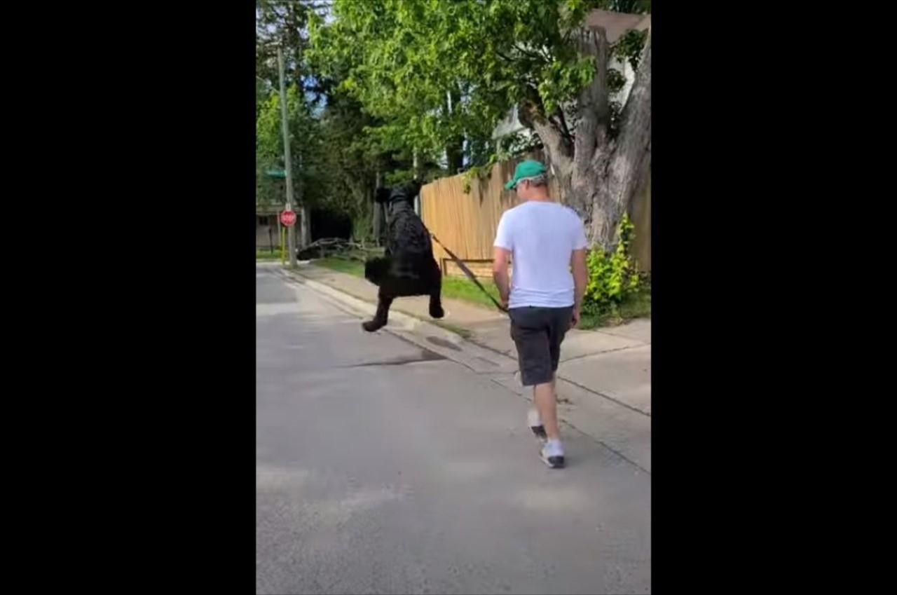 【特撮ではありません】散歩で嬉しさが爆発したワンコ、ウサギのようなジャンプを披露!!