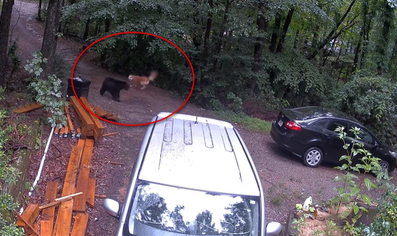 一触即発!家族を守りたい番犬と、コグマを守ろうとする母グマの睨み合い!!