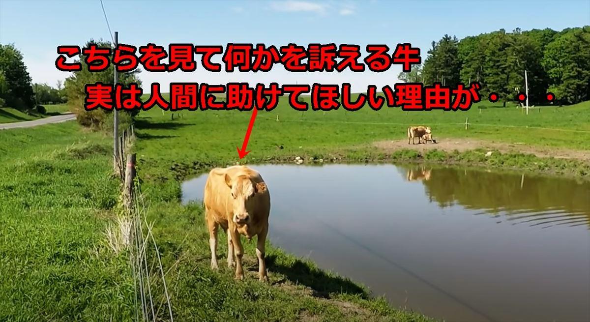 【母性に感動】必死で何かを訴えかける母牛!実はどうしても人間に助けてほしい理由が・・・
