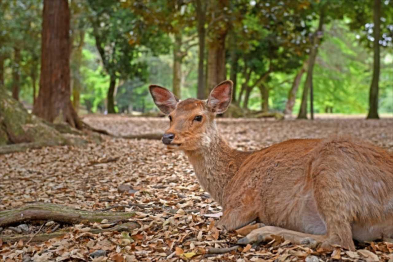 奈良の夏の風物詩!?奈良国立博物館前にできる『鹿だまり』の光景が壮観すぎる!