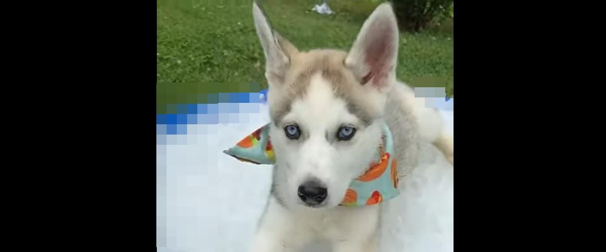 「暑い・・・もうムリ」生まれて初めての猛暑に、ハスキーの子犬は「ある場所」から動けなくなったようです