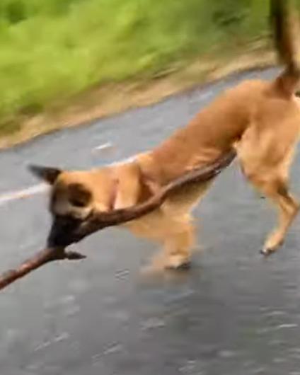 「見て!これ気に入ったの!」大きな木の枝が気に入ったワンコ。って足に木が引っかかって走り方変になってるよ!