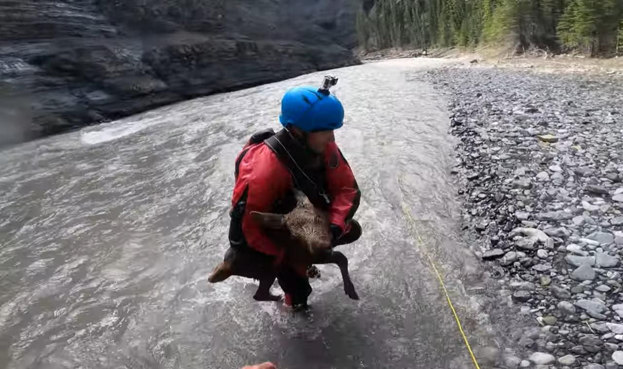 急流に転落したヘラジカの赤ちゃん・・・命がけの救出活動で一命をとりとめる!