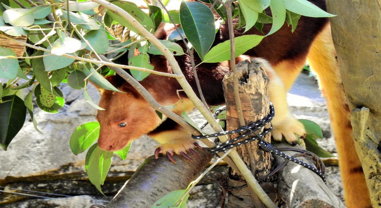 カンガルーなのに木の上で暮らすの?!「セスジキノボリカンガルー」とはどんな動物?
