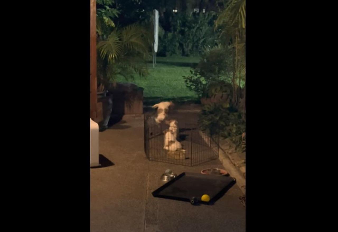 子犬がケージから脱出を試みるも連続で失敗。これは無理かな・・・と思いきや、不屈の精神を見せる!!