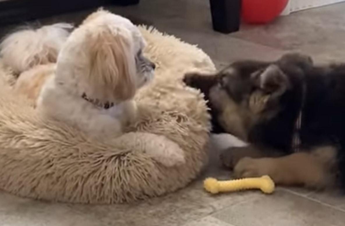 「ちょっとなにするのよ!」初めて会った子犬にベッドを噛まれたワンコが見せた反応がクレバーなものだった!!