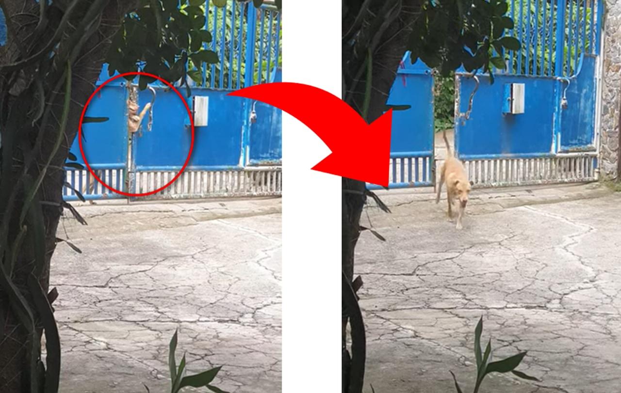 【天才犬現る】鍵付きの門を自力で開けてスマートに帰宅するワンコ!!