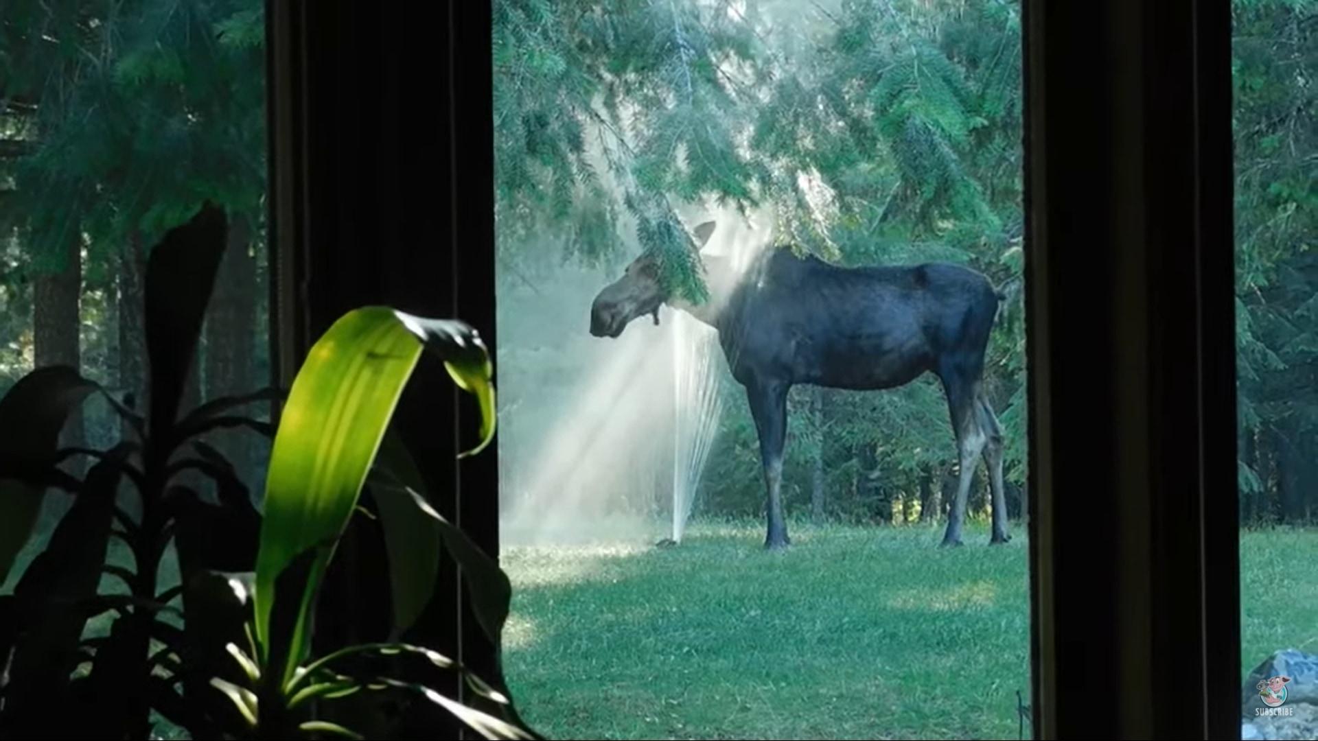 木漏れ日もあって幻想的。スプリンクラーで水浴びをするヘラジカ