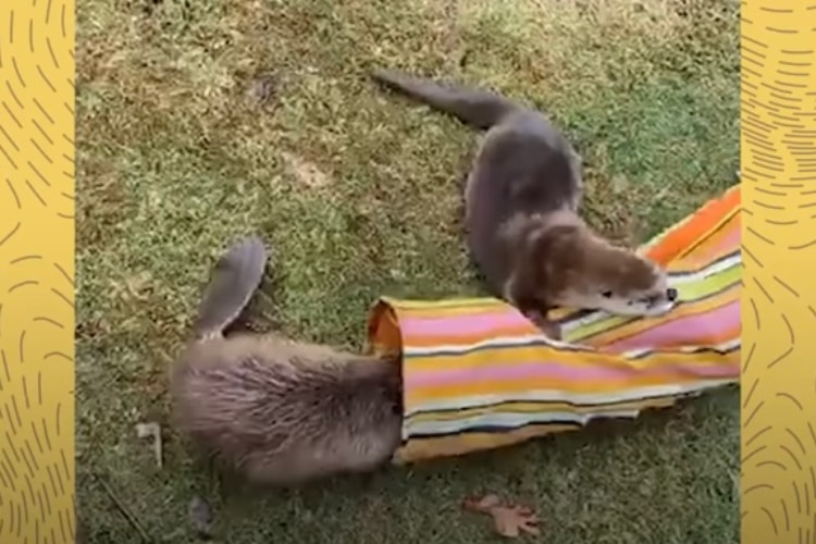 施設で出会ったビーバーとカワウソに、種を超えた友情が芽生えました!