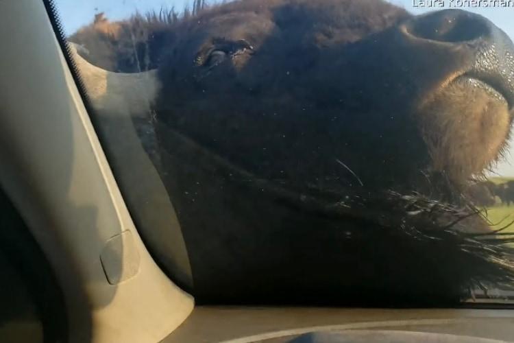 そんなことあるの?!巨体を誇るバイソンが車をゴシゴシと掃除をしてくれました!