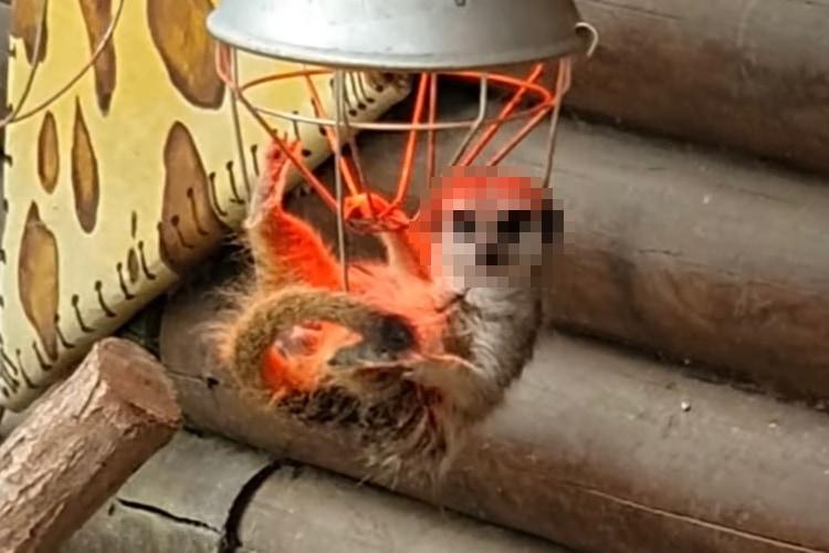 偶然?それとも狙ってた?ランプの中でくつろぎながらドヤってくるミーアキャット