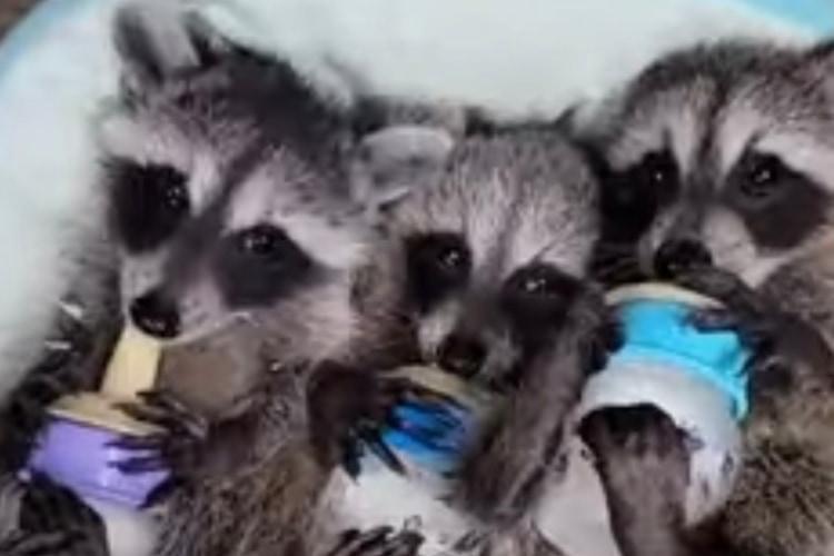 かわいさが大渋滞!寝っ転がって哺乳瓶を抱えるアライグマの赤ちゃんたちの姿がヤバい