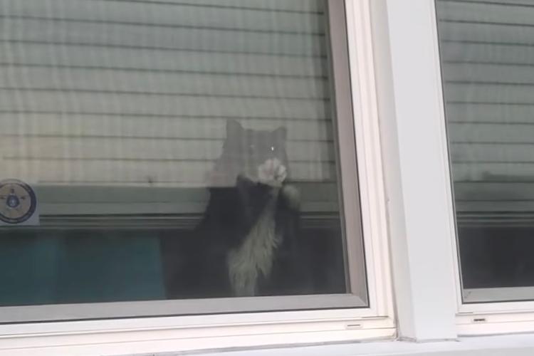 「ズルいニャ!」飼い主さんがワンコと外に出ると、嫉妬して窓を超高速で引っ掻くニャンコ
