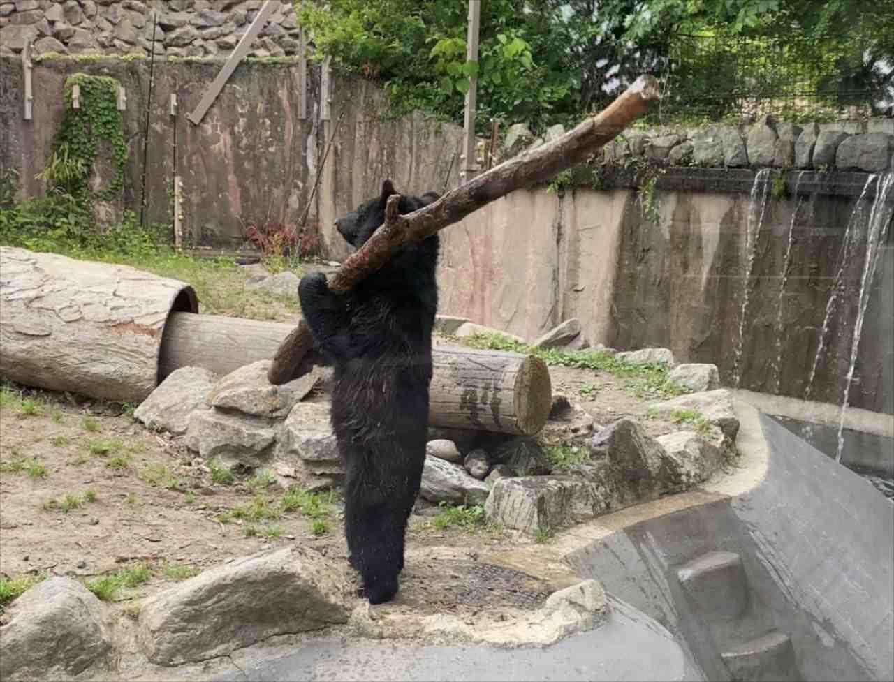 めちゃくちゃ打ちそう! 野球が上手そうな直立不動のクマが動物園に!!【木を振り回すアクションシーンも必見】