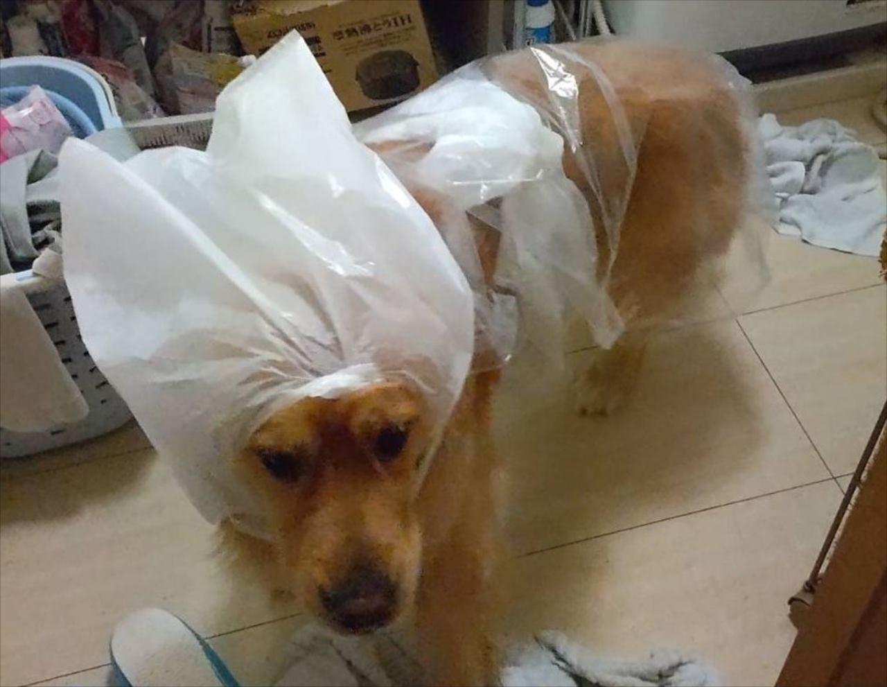 「嘘やろそれで散歩行ったんか。」大雨でカッパが乾いてなかったらしく・・・愛犬がスゴい格好に!!