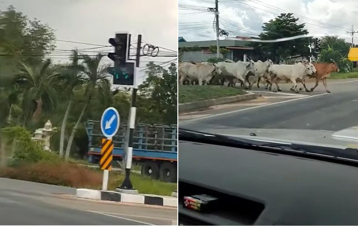 スゴい!みんな賢い!!牛さんたちが信号を守って交差点を横断していきました