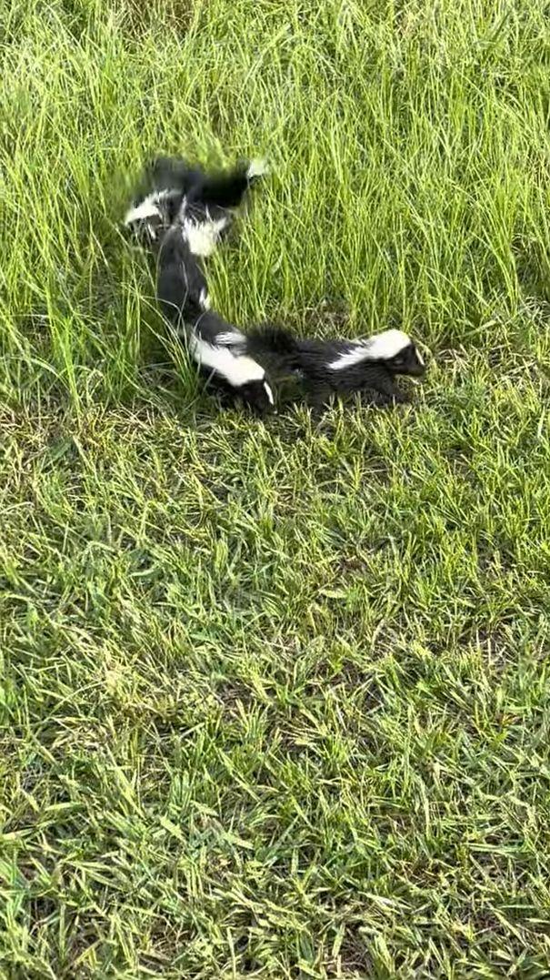 スカンクの赤ちゃんたち、進路上にいたヘビに果敢にも挑みかかる!!勝者はどっちだ?!