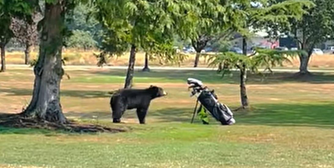 ゴルフ場にクマがあらわれた!!と思ったらゴルフバックが怖かったみたいで・・・