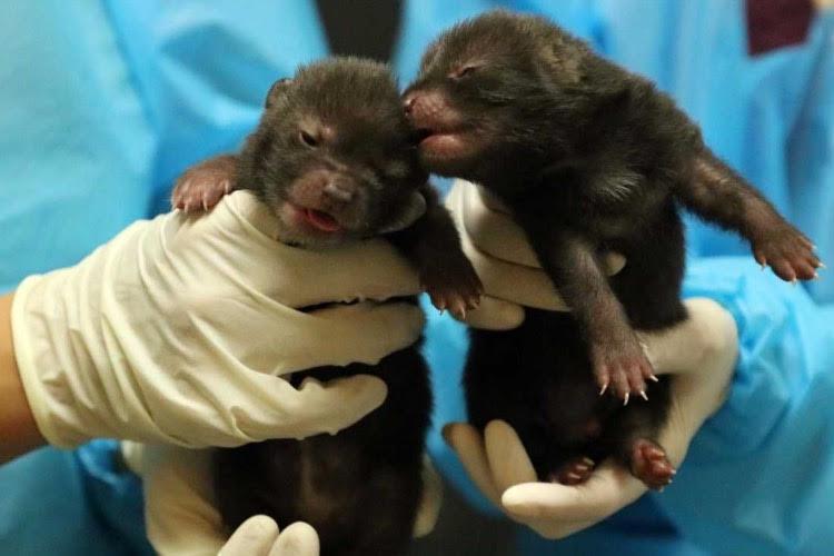 【吉報】神戸どうぶつ王国で原始の犬「ブッシュドック」に赤ちゃんが誕生しました!