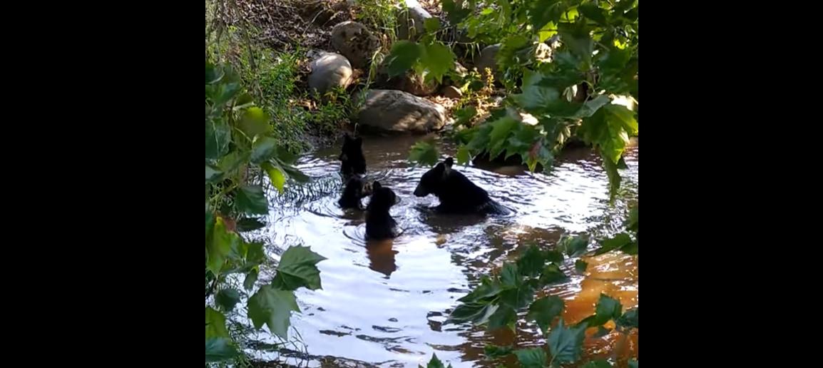 おとぎ話のワンシーンにでも紛れ込んだ?クマたちが楽しそうに水浴びをしているところに遭遇しました