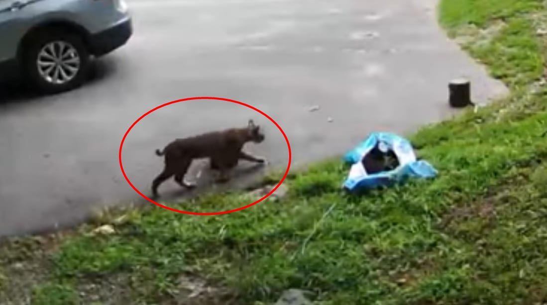 駐車場に姿を見せたボブキャット。スタスタと歩いて行くのかと思いきや・・・意外な姿を見せてくれました!!
