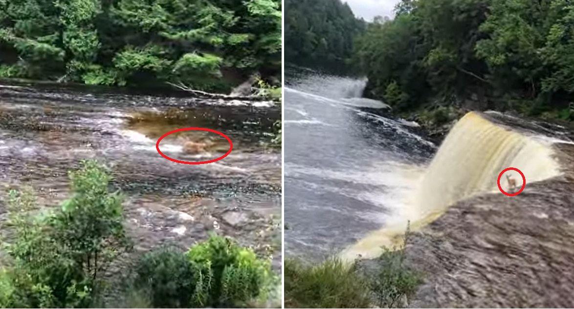 なんてこと!川を下るシカが・・・滝から落ちてしまった!!このシカの運命や如何に