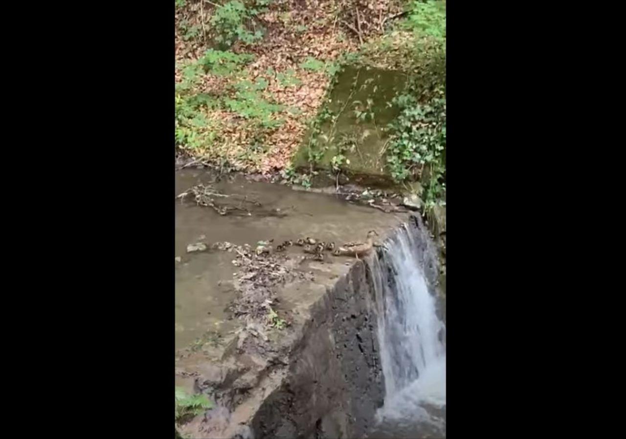 母鳥みたいに飛び込めるか!?滝の上で飛び込むのを躊躇するアヒルのヒナたち