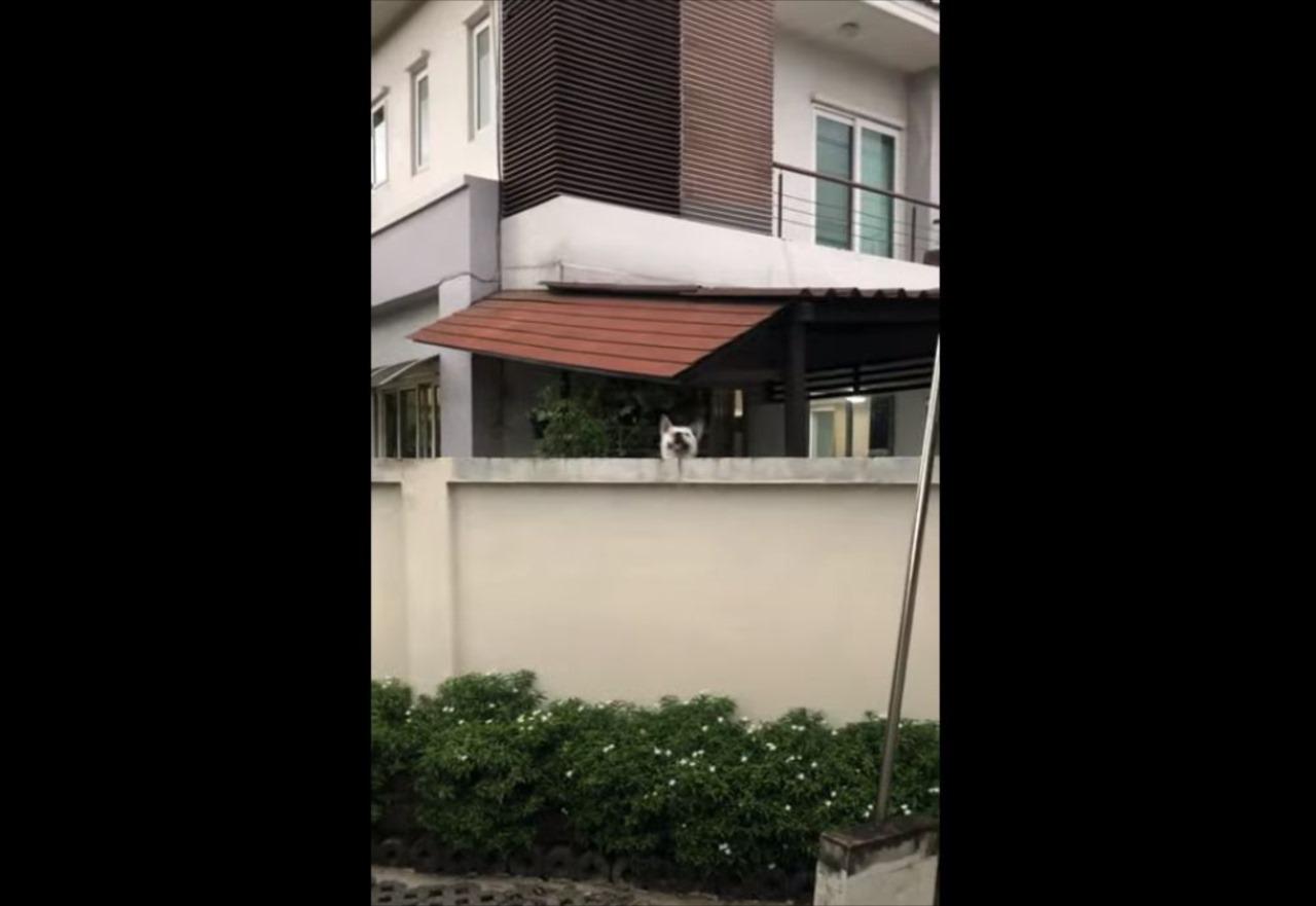 塀の向こうでジャンプして挨拶してくるイヌ。その動きがまるでモグラたたきみたい!!