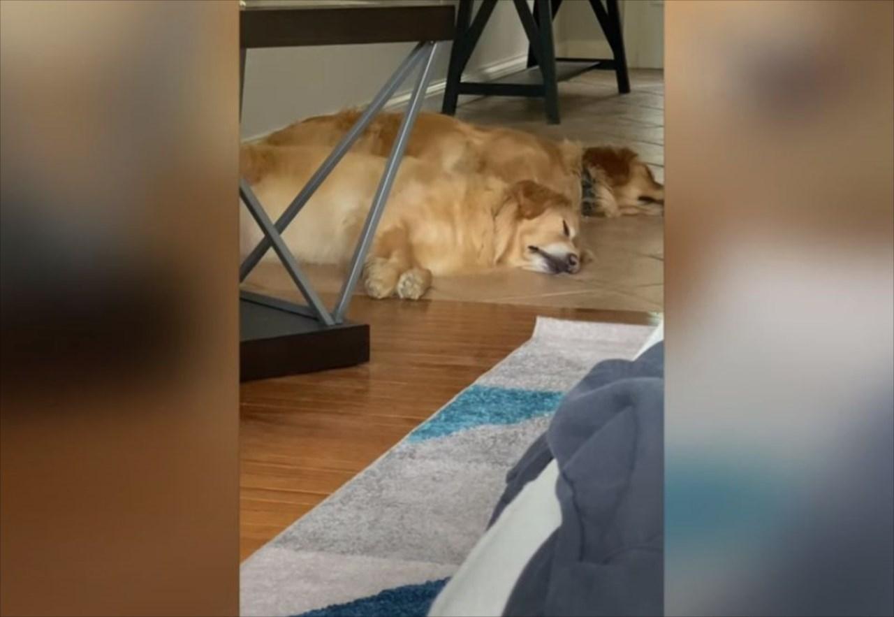 動きがシンクロしすぎぃ!寝ていても「おやつよ!」の声を聞きつけ、同じタイミングで目覚めるイヌたち