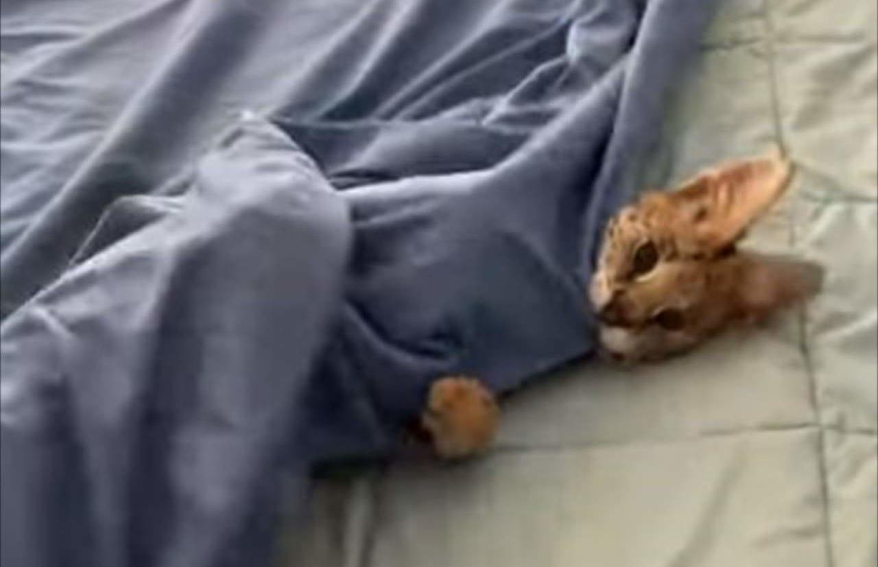 「布団から出たくない・・・」ベッドを整えたいのにペットのサーバルキャットが起きてくれない