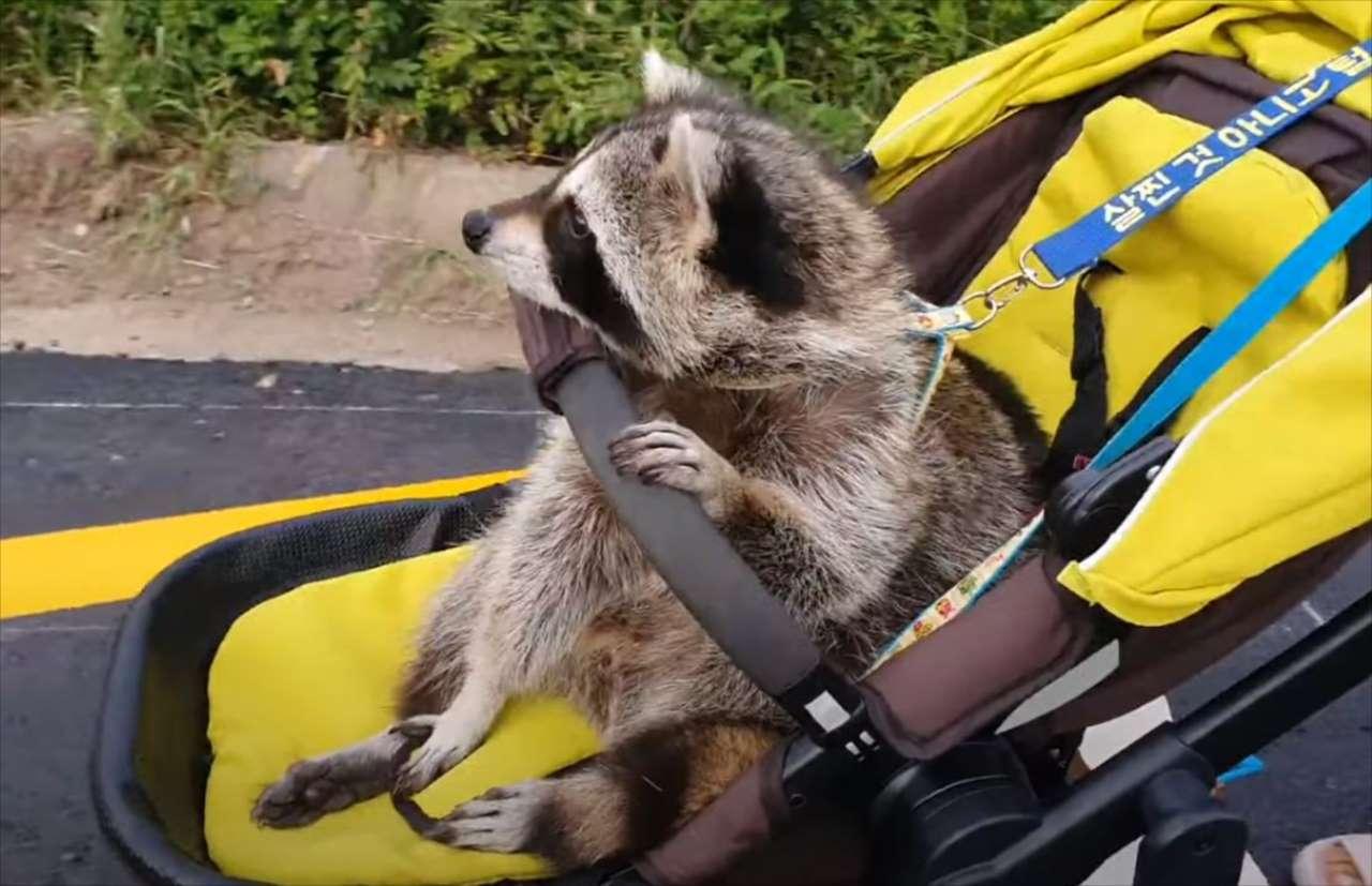 まるで人間の赤ちゃんみたい!ベビーカーに乗るアライグマがかわいすぎる!