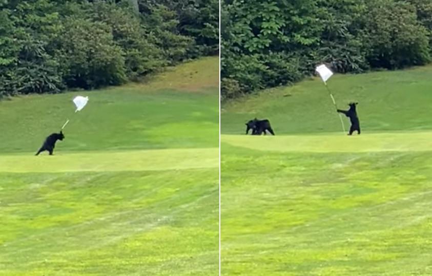 コグマは、ゴルフ場のグリーン上で最高に面白いおもちゃをみつけたようです