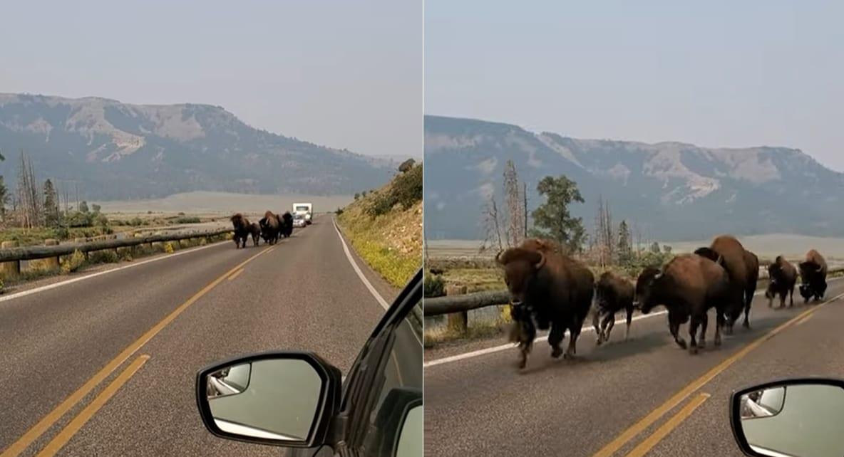 アメリカ・イエローストーン国立公園ならでは?道の向こうから迫力ある姿を見せたのは・・・バイソンの群れでした!!
