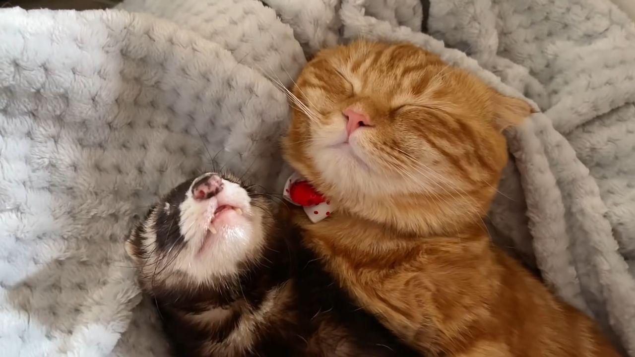 寝付けない末っ子なネコが甘えたのは・・・フェレットのお兄ちゃん!かわいく甘える行動も一緒にお昼寝する姿も尊い・・・