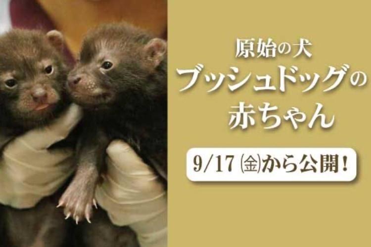神戸どうぶつ王国で原始の犬「ブッシュドッグ(ヤブイヌ)」の赤ちゃんが9月17日から公開されます!