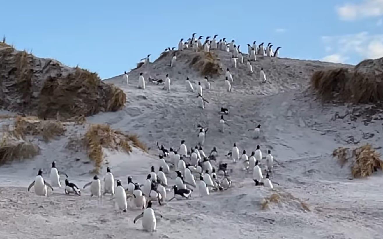 トテトテコテットテトテ。砂丘を駆け下りてくるペンギンたちがかわいいと思っていたら、実は大変な事態が迫っていました!!
