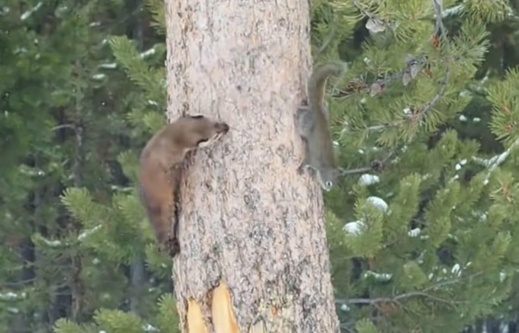 木の上をクルクル、クルクル。リスとテンのかわいい鬼ごっこのように見えますが・・・【所詮この世は弱肉強食】