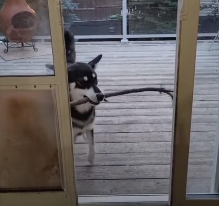 「あれ?お家に入れない??」お宝を咥えて帰って来たハスキー犬は、なぜか部屋に入れなくて悪戦苦闘することになりました