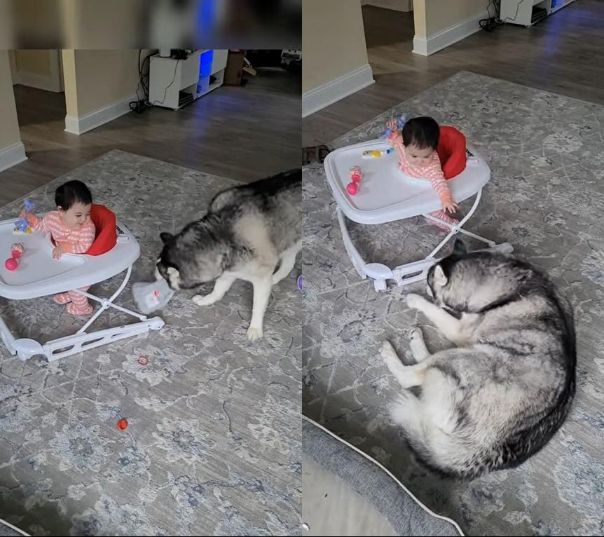 赤ちゃんはハスキー犬が遊んでいるところを見るのが大好き!ハスキーもそんな赤ちゃんのそばで元気にはしゃぎまわります